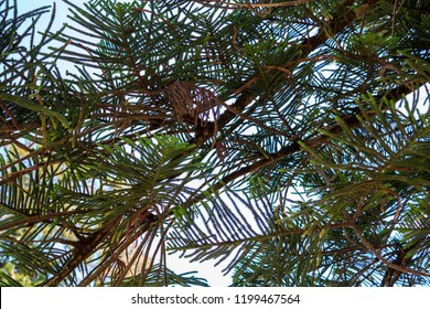 Araucaria tree branches