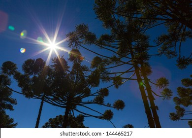 Araucaria tree forest under a Star-shaped sun, Minas Gerais, Monte Verde.