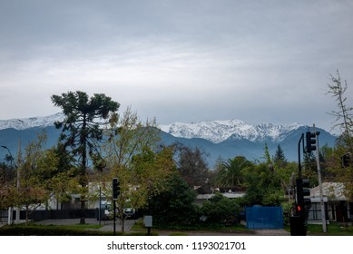 Araucaria tree with snowy Andes mountains as background, view from park of Las Condes neighborhood in Santiago de Chile.
