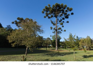Araucaria tree typical of southern Brazil.