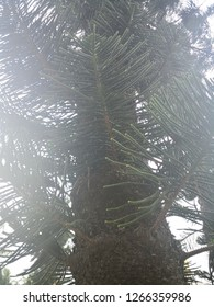 Araucaria tree under sunlight