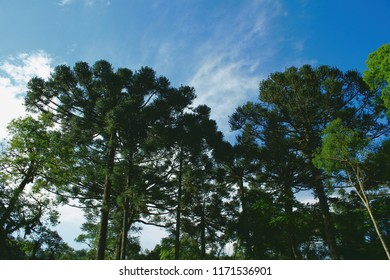 Araucaria trees with blue sky