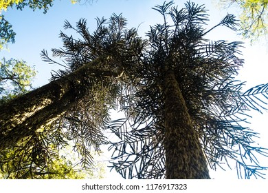 Araucaria trees in National Park Huerquehue, Chile. The tree is called Araucaria araucana (commonly: monkey puzzle tree, monkey tail tree, Chilean pine)