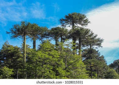 """Araucarias"" Chilean native trees, landscape"