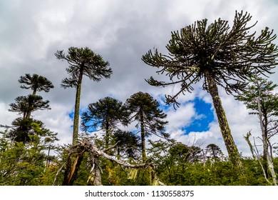 Araucarias, Conguillio national park