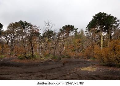 Araucarias Tree in Conguillio National Park. Chile