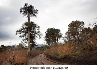 Araucarias tree. Melipeuco. Chile