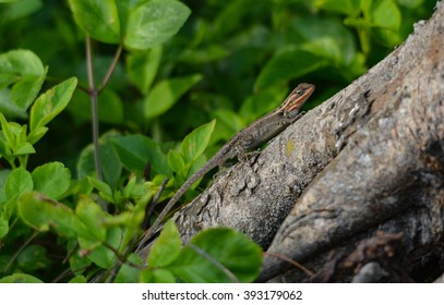 arboreal lizard resting on tree branch