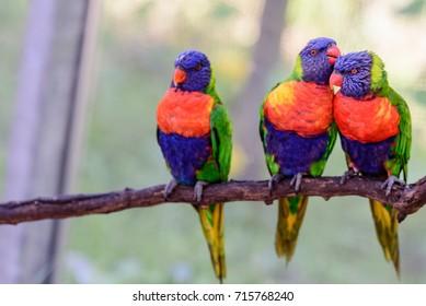 Arboreal parrots(lorikeets) socializing