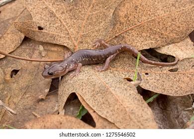Arboreal Salamander (Aneides lugubris)