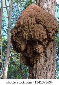 Arboreal termite or white ant arboreal mound, mud nest on an eucalyptus tree in Australia