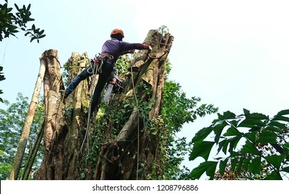 An arborist is chunking down a large tree as it cannot be fell whole, portion by portion top down removal approach. He uses rigging ropes to help in secure on trunks while carried out section removal.