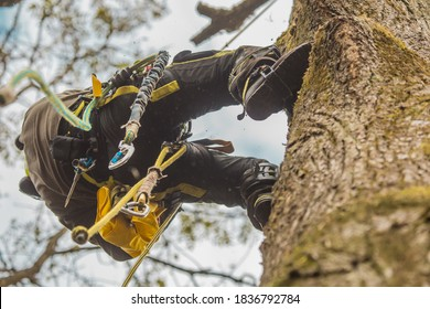 Arborist or lumberjack climbing up on a large tree using different safety and climbing tools. Arborist preparing to cut a tree, view from below.