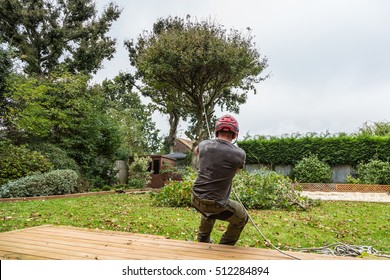 An arborist, lumberjack, pulls the rope attached to an oak tree whilst his colleague chops the tree trunk in order to fell the tree and pull it to the ground. It is in a residential garden.