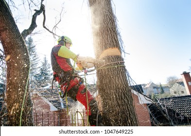 Arborist man cutting a branches with chainsaw and throw on a ground. The worker with helmet working at height on the trees. Lumberjack working with chainsaw during a nice sunny day.