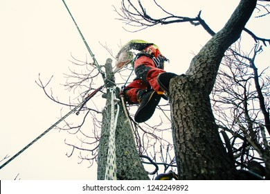 Arborist man cutting a branches with chainsaw and throw on a ground. The worker with helmet working at height on the trees. Lumberjack working with chainsaw during a nice sunny day. Tree and nature
