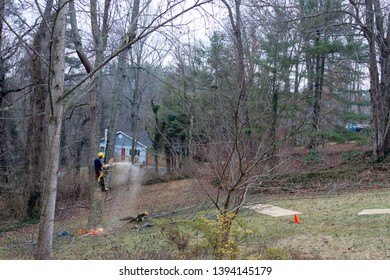An arborist is roped in an old cherry tree while using a chain saw to take it down on a winter's day
