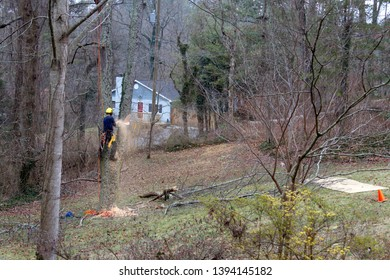 An arborist roped in an old cherry tree uses a chain saw to take it down on a winter's day