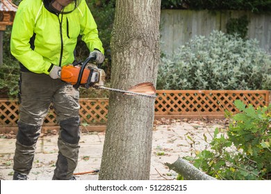 A arborist, tree surgeon with a chainsaw cuts into a tree in preparation for felling. The lumberjack is wearing a hi-viz jacket.