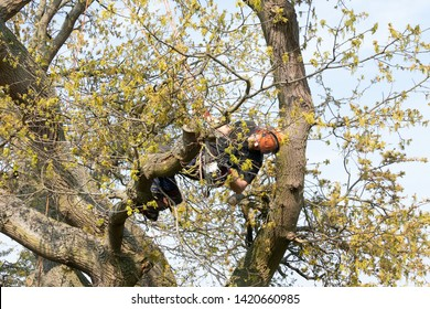 Arborist or Tree Surgeon using his safety ropes to hang from a tree while cutting a branch.