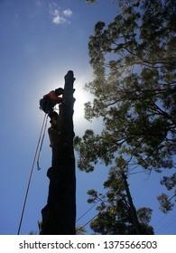Arborist Undertaking Professional Tree Work Dismantling Two Trees