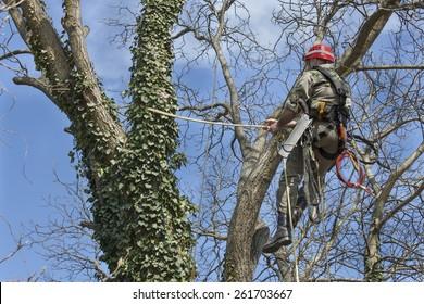 An arborist using a chainsaw to cut a walnut tree, tree pruning