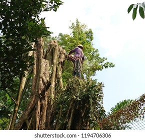 An arborist at work. He uses a cut portion of the tree trunk as a standing platform while he works with his chainsaw and ropes.