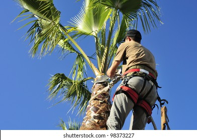 Arborist working high up, cutting  palm tree fronds.