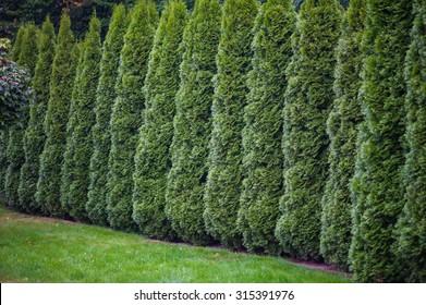 arborvitae leaves background