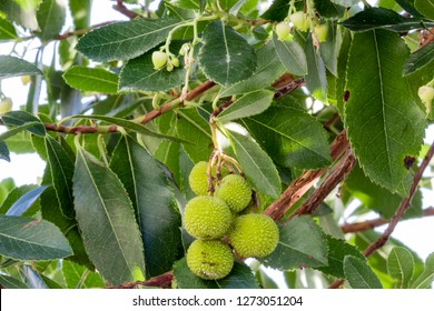 Arbousier or Strawberry tree fruits and flowers
