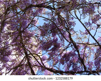 arbre magnifique glycine