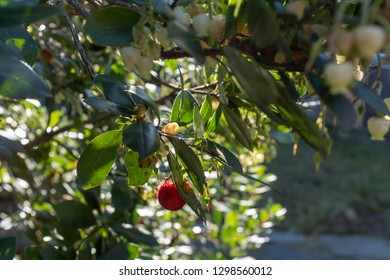 Arbutus plant with berries and flowers