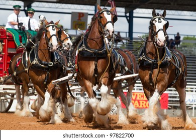 ARCADIA, FLORIDA - MARCH 9- The Budweiser Clydesdale horses set the stage for the famous 84th All-Florida Championship Rodeo on March 9, 2012 in Arcadia, Florida