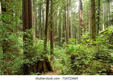 Arcata Community Forest - Redwood Park nature loop