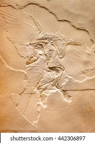 Archaeopteryx fossils imprint