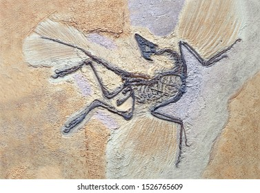 Archaeopteryx Fossils. Archaeopteryx lithographica, Sinosauropteryx is the first dinosaurto be found with a feather, living in the early Cretaceous China's Liaoning province. Selective focus.
