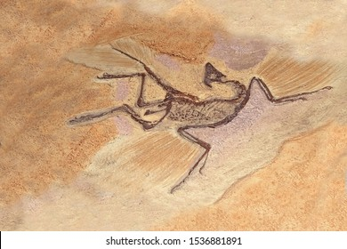 Archaeopteryx Fossils. Archaeopteryx lithographica, Sinosauropteryx is the first dinosaurto be found with feathers, living in the early Cretaceous in China's Liaoning province. Selective focus.