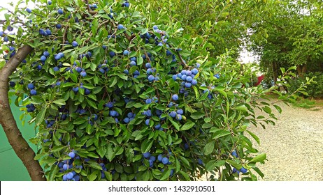 Arched, fruitful plum tree in the street. Round, dark blue with whitish coating plums grow in abundance on the branches of a bent tree. Plum tree branches with dense foliage & small plums.
