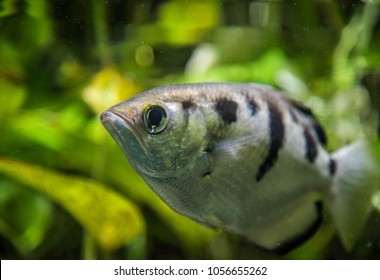 The Archer Fish