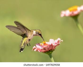 Archilochus colubris, Ruby-throated Hummingbird feeding on a light pink Zinnia flower
