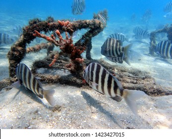 Archosargus probatocephalus, the sheepshead, is a marine fish that has deep and compressed in body shape, with dark stripes on its sides over a gray background and sharp dorsal spines.