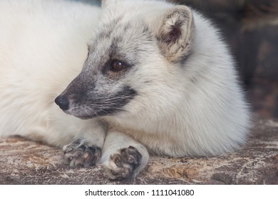 Arctic (blue, polar, white) fox in the Moscow Zoo