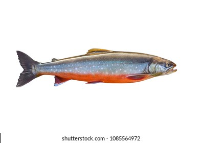 Arctic char fish isolated on white background