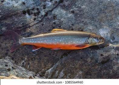 Arctic Char Images, Stock Photos & Vectors | Shutterstock