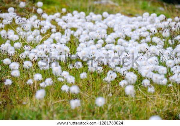 The arctic cotton grass (Eriophorum) field in Dovrefjell–Sunndalsfjella National Park, Norway. Plateau/mountain natural environment.