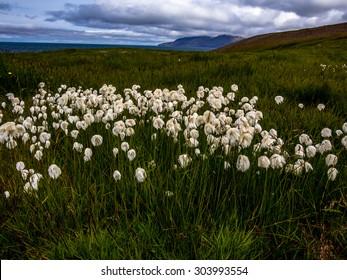 Arctic cottongrass (Eriophorum Scheuchzeri) brightening a meadow in Iceland