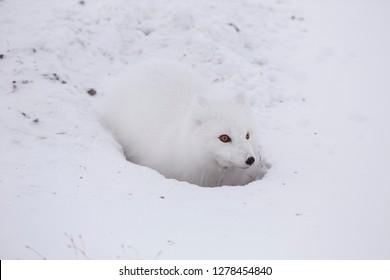 Arctic Fox (Alopex lagopus) at food cache, Cape Churchill, Wapusk National Park, Churchill, Manitoba, Canada