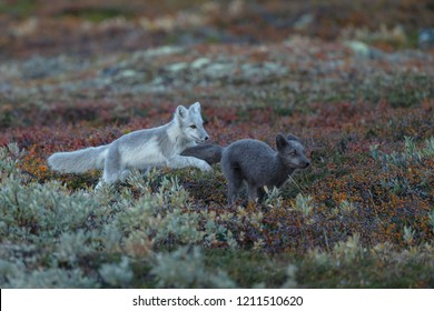 Arctic fox In a autumn landscape
