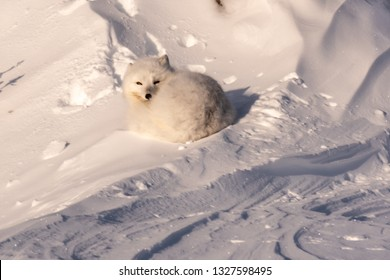 Arctic fox awakens from a nap