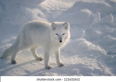 Arctic fox in Canadian Arctic